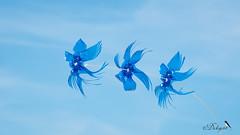 Festi'val'vent (Dicksy93) Tags: dsc09542 festivalvent cerfsvolants kites cometas aérodyne aérien flight fly extérieur outdoor pléneufvalandré côtes darmor 22 bretagne brittany breizh bzh france europe dicksy93 catherine olivier sony dscrx10m4 24600mm f2440 e