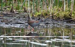 Spotless Crake (philk_56) Tags: westernaustralia perth baigup wetlands bird spotless crake wader water