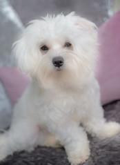 1st Birthday (KissThePixel) Tags: daisy dog family love maltese malteseterrier nikon nikond750 portrait dogportrait white whitedog furry purewhite beautiful birthday cute 1stbirthday onetoday 1today happybirthday