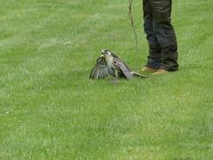 Lannerfalke (Chriest) Tags: grugaparkessen greifvogelstationhellenthal lannerfalke falcobiarmicus