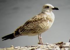 Goéland leucophée juv (Larus cachinnans) (Birdy/Thierry) Tags: bird oiseau fauna seagull larus goéland leucophée léman france