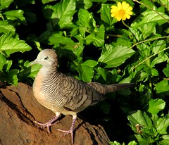 Dove on a rock (thomasgorman1) Tags: bird dove striped zebra nature canon island beach flower rock leaves molokai hawaii portrait animal wildlife