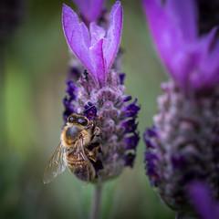 Miel de lavande (S@ndrine Néel) Tags: honey miel bee abeille lavande lavender closeup nature neelsandrine