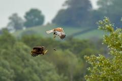 Marsh Harrier Handover (Baldyal) Tags: bird bif raptor harrier mouse vole tree sky sommerset rspb hamwall reserve