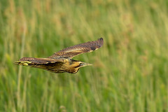 Bittern (Botaurus stellaris) (Baldyal) Tags: bird bif wildlife rspb reed reserve hamwall sommerset photography nature