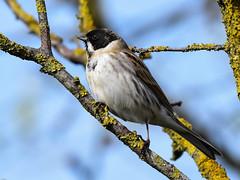 Reed Bunting F00686 Marshside RSPB D210bob DSC_7227 (D210bob) Tags: reed nikon bunting naturephotography naturephotos birdphotography wildlifephotography birdphotos dsc7227 d210bob nikond7200 nikon200500f56 marshsiderspb