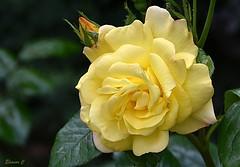 Weekend Rose (Eleanor (No multiple invites please)) Tags: coth5 ngc flower rose yellowrose busheyrosegarden bushey uk nikond7200 may2019