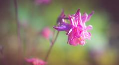 Aquilegia (Dhina A) Tags: sony a7rii ilce7rm2 a7r2 a7r smc pentax m 50mm f17 pentaxm50mmf17 bokeh manual kmount legend manualfocus aquilegia flower