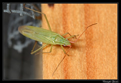 Trigonotylus caelestialum (cquintin) Tags: arthropoda heteroptera miridae trigonotylus caelestialum macroinsectes