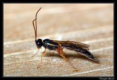 Ichneumonidae (cquintin) Tags: arthropoda hymenoptera ichneumonidae macroinsectes