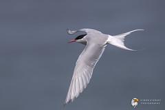 Arctic Tern (Simon Stobart) Tags: arctic tern sterna paradisaea flying north east england uk
