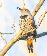 Northern Nature. (Omygodtom) Tags: wildlife flickerwoodpecker flickriver bird posing silhouette portrait oaksbottom outside trail path usgs ngs