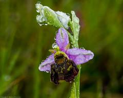 Late Spider Orchid (Ophrys fuciflora) (BiteYourBum.Com Photography) Tags: dawnandjim dawnjim biteyourbum biteyourbumcom copyright©2019biteyourbumcom copyright©biteyourbumcom allrightsreserved uk unitedkingdom gb greatbritain england canoneos7d canonefs60mmf28macrousm sigma50500mmf4563dgoshsm canonef1740mmf4lusm canonmacrotwinlitemt26exrt apple imac5k lightroom6 ipadair appleipadair camranger zerenestacker polaroidautofocusdgmacroextensiontubes manfrotto055cxpro3tripod manfrotto804rc2pantilthead loweproprorunner350aw kent kentwildlifetrust kentdowns kentdownsareaofoutstandingnaturalbeauty kentdownsaonb aonb areaofoutstandingnaturalbeauty folkestone folkestonedowns latespider orchid ophrys fuciflora latespiderorchid ophrysfuciflora