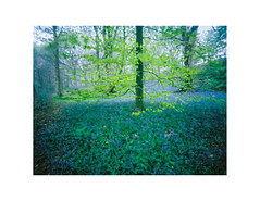 Middleton Woods (gerainte1) Tags: pinhole portra400 film colour woodland spring bluebells trees yorkshire