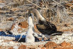 Blue Footed Booby Feeding Chick (Linda Martin Photography) Tags: bird northseymourisland chick wildlife bluefootedbooby feeding galapagosislands nature alittlebeauty coth coth5 ngc specanimal
