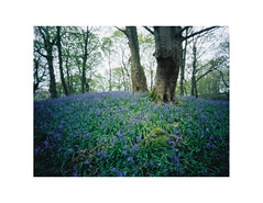 Middleton Woods (gerainte1) Tags: yorkshire spring flowers bluebells woodland trees colour portra400 pinhole