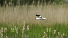 whizzing through (blackfox wildlife and nature imaging) Tags: nikon d3s sigma150600c avocet bif burtonmerewetlands rspb wirral waders