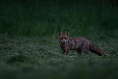 Im Dunkeln... (bertheeb) Tags: rotfuchs wildtiere nikon d850 500mmvr