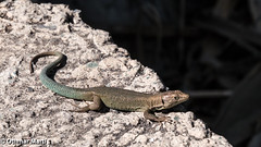 Lizard basking in the sun (OthmarMarti) Tags: dmcg6 estreitocâmaradelobos lumixgvario14140mmf3556 lumix14140mm madeira prt panasonic portugal sãomartinho geo:lat=3264107936 geo:lon=1695316499 geotagged madeiraisland island lizard eidechse stein sonne sun