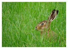 Lepus europaeus (M.L Photographie) Tags: animal nature wild wildlife wildlifephoto wildlifephotography france normandie eure hare lièvre lepus sony dschx400v