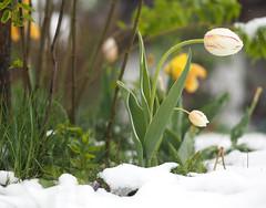 Tulip Flower Blossom Spring Snow © Tulpe Blüte Frühling Schnee © (hn.) Tags: bavaria bayern deutschland eu europa europe frühling gaisach germany landkreisbadtölzwolfratshausen oberbayern spring tölzerland upperbavaria blume copyright copyrighted flower frühlingsblume garden garten heiconeumeyer schnee snow springflower tulip tulipan tulpe