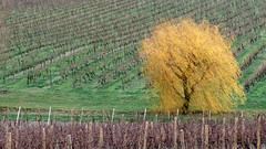 Yellow willow (Jean-Luc Peluchon) Tags: color couleur jaune yellow tree arbre vigne vine vineyard grapevine charente france nature rural campaign campagne