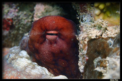Baie des Citrons 30.05.2019 (CurLy98800) Tags: noumea baie des citrons nouvelle calédonie new caledonia plongée diving snorkeling pmt corail lagon poisson underwater sous marine octopus cyanea poulpe diurne