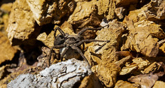 Female Wolf Spider with Egg Sac (Curefitz) Tags: