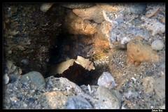 Baie des Citrons 30.05.2019 (CurLy98800) Tags: noumea baie des citrons nouvelle calédonie new caledonia plongée diving snorkeling pmt corail lagon poisson underwater sous marine cryptocentrus leucostictus saddled prawngoby