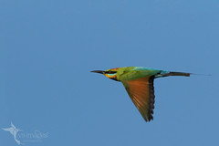 Rainbow Bee-eater (VS Images) Tags: rainbowbeeeater beeeaters meropsornatus meropidae birds bird birding bif birdsinflight feathers flight animals wildlife wildlifephotography australianbirds avian australianwildlife australia nsw nature ngc naturephotography vsimages vassmilevski olympus olympusau olympusinspired getolympus m43 omd