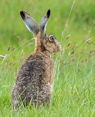 Brown hare (Lepus Europaeus) (SteveYoung839) Tags: brownhare hare lepuseuropaeus kent isleofsheppey elmley steveyoung olympus panasonic omd em1mk2 leica 100400