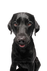 Blurp (Wieselblitz) Tags: dog dogs dogphotography dogphotographer dogportrait doginthestudio black blackdog blacklabrador fun funnydog funnydogportrait pet pets petphotography petportrait petphotographer studio studiodogportrait studioportrait blurp blurping blurpingdog tongue tongueout tongueouttuesday tonguestickingout white whitebackground dogonwhitebackground dogsonwhitebackground dogonwhite dogsonwhite whitestudio elkevogelsang wieselblitz