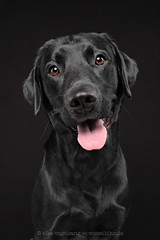 Smile, you are on camera and even visible (Wieselblitz) Tags: dog dogs dogphotography dogphotographer dogportrait doginthestudio black blackdog blacklabrador labrador labradorportrait blackonblack happy happiness happydog smile smiling smilingdog emotion character personality blackbackground dark lowkey lowkeyportrait studio studioportrait studiodogportrait elkevogelsang wieselblitz