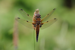 Four Spotted Chaser (Hugobian) Tags: dragonfly insect nature wildlife fauna macro pentax k1 paxton pits reserve four spotted chaser