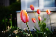 More flower to ya (IamWadidiz) Tags: spring2018 classiclens fancycolours germanlens vintagelens manualfocus sony sweden schneider schneiderkreuznach schneiderxenon xenon robotxenon flowerpower bokeh sonya7r3 sonya7riii beyondbokeh