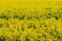 Yellow fields of spring (aixcracker) Tags: spring vår kevät raps nikond800 borgå porvoo may maj toukokuu suomi finland field fält pelto yellow gul keltainen