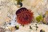 Irish sea Anemone (Evoljo) Tags: seaanemone garnish sea underwater beara plant sealife macro ireland nikon d7100