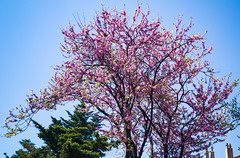 Spring in Toulon, 14 Avril 2019 (Enzo R.) Tags: spring tree pink sky blue nature april toulon provence france colors plants photography huawei p20 pro leica phone
