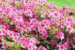 Rhododendron (Bephep2010) Tags: 2019 7markiii alpha blume blüte carona frühling ilce7m3 lugano parcosangrato rahmen rhododendron sel24105g schweiz sony switzerland tessin ticino blossom flower pink rosa spring ⍺7iii kantontessin