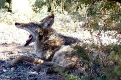 Coyote siesta (jimsc) Tags: coyote canislatrans wildlife critter animal canine may spring afternoon siesta nap yawn predator kitchenwindow windowshot ngc desert sonorandesert arizona pimacounty tucson catalina panasonic lumix fz200 jimsc