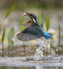 Kingy classic scene (andy_harris62) Tags: explore inexplore explored kingy kingfisher bird birdinflight bif bbcspringwatch nature naturephotography wildlife wildlifephotography wildlifehides outdoors outside nikon nikond850 nikkor300mmf28 nikkor water