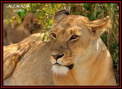FEMALE LIONESS (Panthera leo)......MASAI MARA......SEPT 2018. (M Z Malik) Tags: nikon d3x 200400mm14afs kenya africa safari wildlife masaimara keekoroklodge exoticafricanwildlife exoticafricancats flickrbigcats lioness leo ngc npc