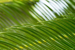 Sago palm (takapata) Tags: sony sel90m28g ilce7m2 macro nature thingswithteeth smileonsaturday