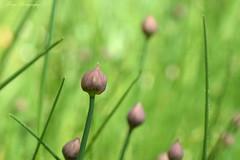 Closed off... (Maria Godfrida) Tags: lookingcloseonfriday flowerbuds chives plants nature flora green bokeh closeup macro brown waterdroplets drops