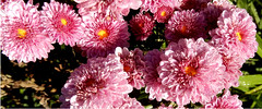 chrysanthemums, pink, volunteer, with dewdrops (Martin LaBar) Tags: southcarolina pickenscounty chrysanthemum chrysanthemums asteraceae waterdrops flowers