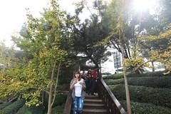 IMG_4561 (JIMI_lin) Tags: 南投 大崙山 銀杏 武岫農圃 武岫農場 武岫景觀餐廳 大崙山茶園 taiwan 茶園