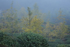 IMG_4831 (JIMI_lin) Tags: 南投 大崙山 銀杏 武岫農圃 武岫農場 武岫景觀餐廳 大崙山茶園 taiwan 茶園