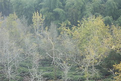 IMG_4608 (JIMI_lin) Tags: 南投 大崙山 銀杏 武岫農圃 武岫農場 武岫景觀餐廳 大崙山茶園 taiwan 茶園
