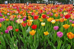 Panasonic FZ1000, Tulips, Botanical Gardens, Montréal, 20 May 2019 (11) (proacguy1) Tags: panasonicfz1000 tulips botanicalgardens montréal 20may2019