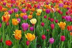 Panasonic FZ1000, Tulips, Botanical Gardens, Montréal, 20 May 2019 (20) (proacguy1) Tags: panasonicfz1000 tulips botanicalgardens montréal 20may2019